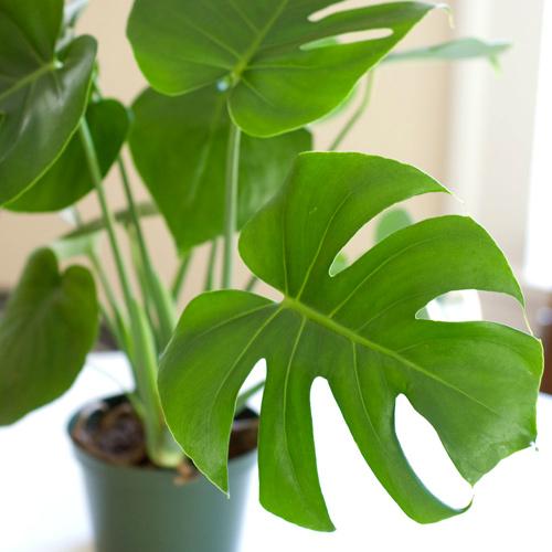 Hoa, cây cảnh chứa độc đe dọa sức khỏe-7