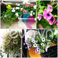 Hoa, cây cảnh chứa độc đe dọa sức khỏe-12