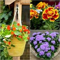 Hoa, cây cảnh chứa độc đe dọa sức khỏe-13