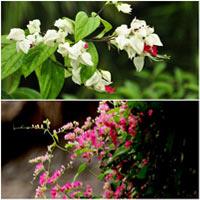 Hoa, cây cảnh chứa độc đe dọa sức khỏe-14