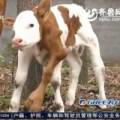 Tin tức - Kỳ lạ chú bê 6 chân chào đời ở Trung Quốc