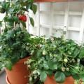 Nhà đẹp - Cách trồng rau ban công của tôi