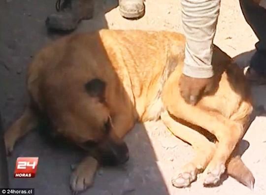 Chile: Bé 2 tuổi sống sót nhờ được chó cho bú-3