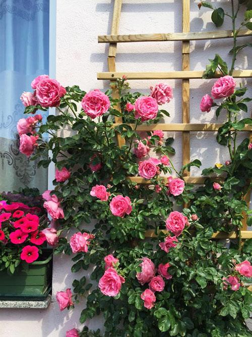 """Mẹ Việt mát tay chăm vườn """"nghìn lẻ một"""" loại hồng tại Đức-1"""