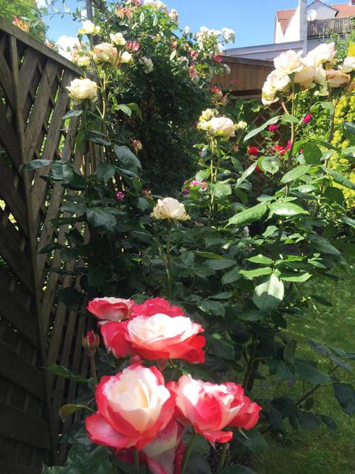 """Mẹ Việt mát tay chăm vườn """"nghìn lẻ một"""" loại hồng tại Đức-14"""