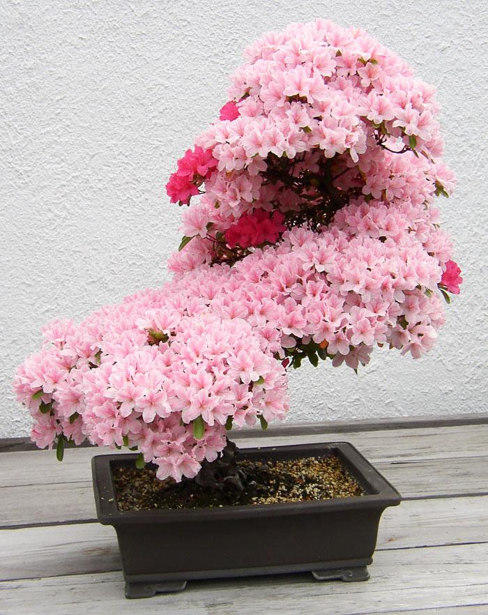 15 cay bonsai sieu doc 'co tien mua cung chang duoc' - 1