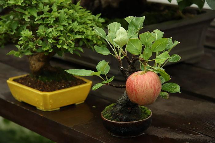 15 cay bonsai sieu doc 'co tien mua cung chang duoc' - 8