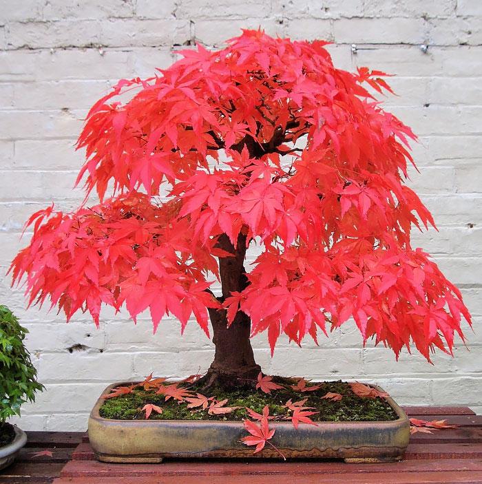 15 cay bonsai sieu doc 'co tien mua cung chang duoc' - 5