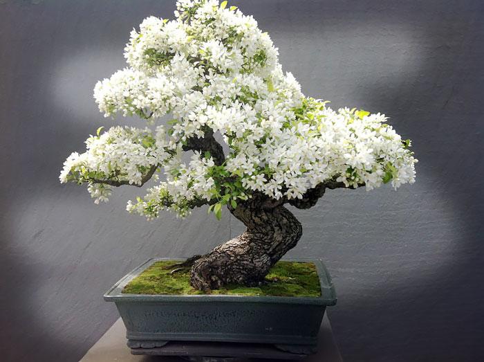 15 cay bonsai sieu doc 'co tien mua cung chang duoc' - 6