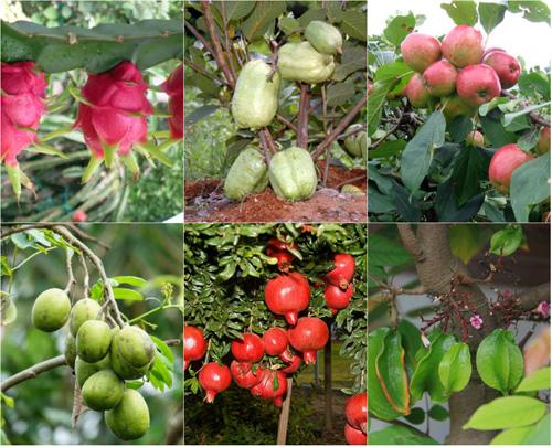Top 9 loại cây ăn quả dễ trồng ở sân vườn nhà phố-1