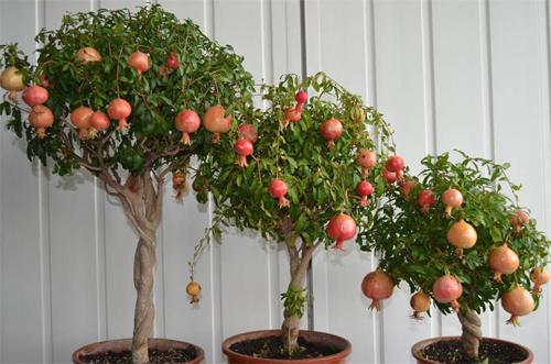 Top 9 loại cây ăn quả dễ trồng ở sân vườn nhà phố-10