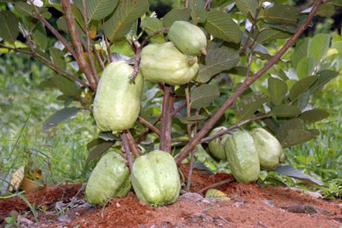 Top 9 loại cây ăn quả dễ trồng ở sân vườn nhà phố-11