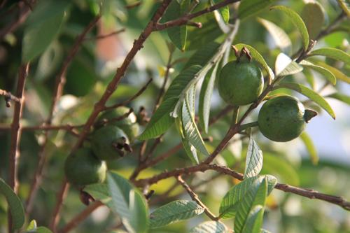 Top 9 loại cây ăn quả dễ trồng ở sân vườn nhà phố-12