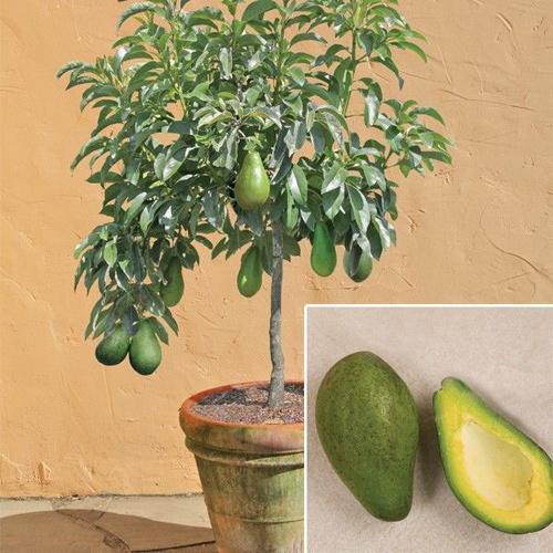 Top 9 loại cây ăn quả dễ trồng ở sân vườn nhà phố-15