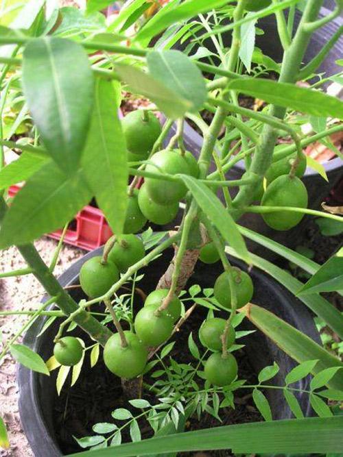 Top 9 loại cây ăn quả dễ trồng ở sân vườn nhà phố-4