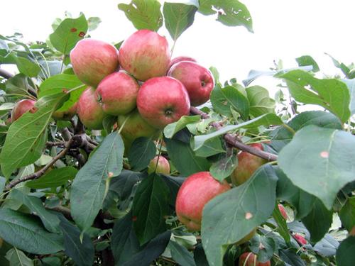 Top 9 loại cây ăn quả dễ trồng ở sân vườn nhà phố-7