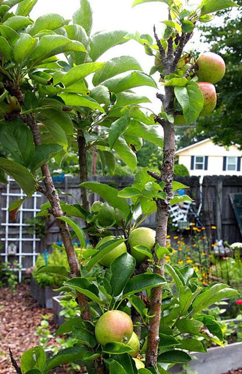 Top 9 loại cây ăn quả dễ trồng ở sân vườn nhà phố-8