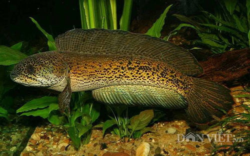 Chiêm ngưỡng loài cá lóc hoàng đế giá nghìn đô mới vào Việt Nam-3