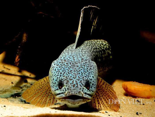 Chiêm ngưỡng loài cá lóc hoàng đế giá nghìn đô mới vào Việt Nam-4