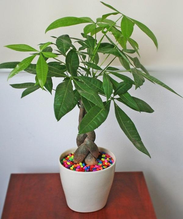 Top 8 cây phát lộc nên trồng để tài lộc vào nhà như lũ - 1