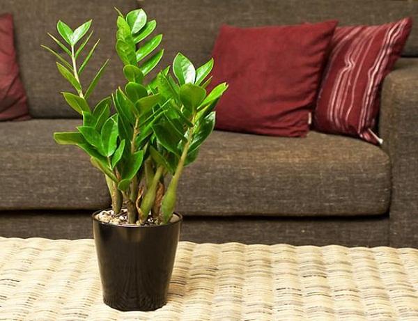 Top 8 cây phát lộc nên trồng để tài lộc vào nhà như lũ - 3