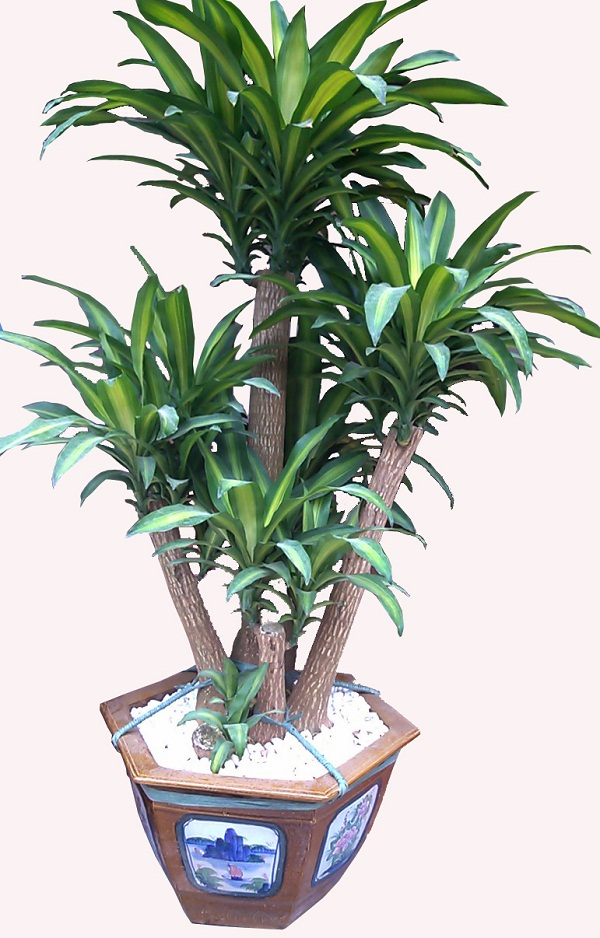 Top 8 cây phát lộc nên trồng để tài lộc vào nhà như lũ - 5