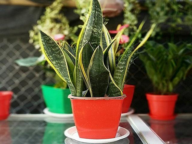 Cây lưỡi hổ: Loại cây lọc độc tố cực tốt, đuổi vận xui, hút tài lộc mà ai cũng muốn trồng