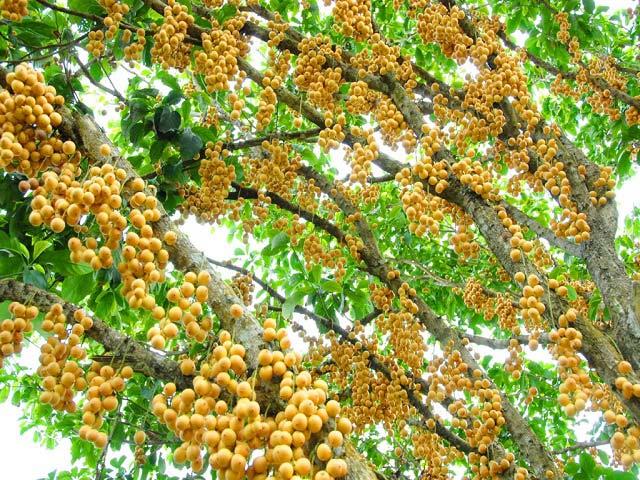 Mãn nhãn những loại cây mắn nhất thế giới, có cây cho hàng chục nghìn quả