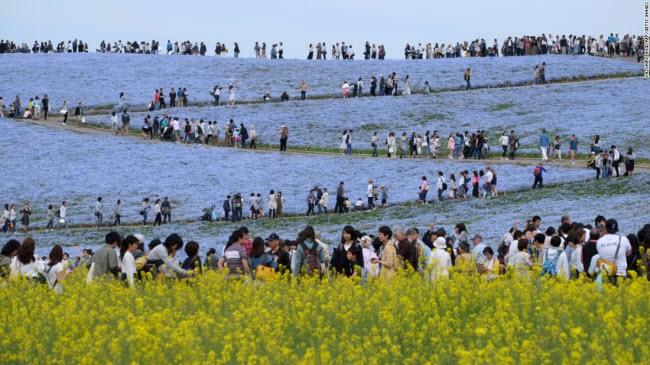 Hitachinaka, Nhật Bản:Du khách chiêm ngưỡng cánh đồng hoa mắt xanh nở rộtrong công viên ven biển Hitachi.
