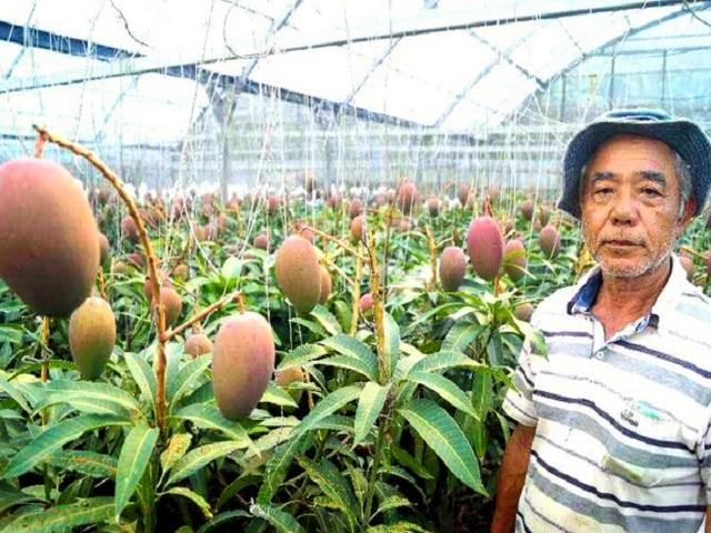 Lạ đời cây xoài siêu mắn cho 800 quả, chủ vườn cho đi ứng tuyển kỉ lục Guinness thế giới