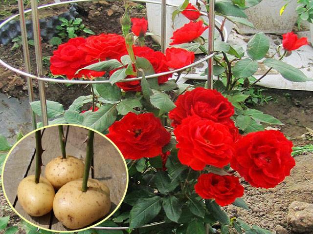 Chị em xôn xao cách trồng hoa hồng chỉ từ củ khoai tây, cây đơm hoa rực rỡ