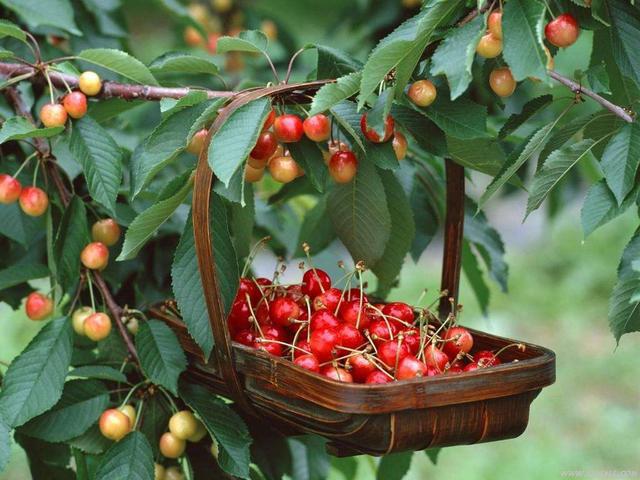 Học cách trồng cherry sai trĩu tại nhà, thu hoạch cả trăm quả ăn mãi chẳng hết