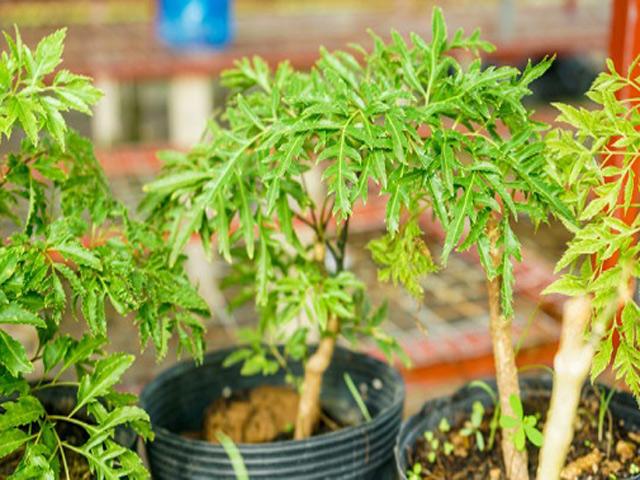 Trồng cây đinh lăng thần dược để chữa bách bệnh, chặn khí xấu, tài lộc vào ầm ầm