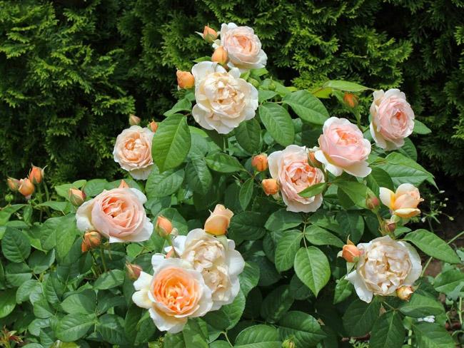 Loài hoa hồng độc đáo với tên gọi làJuliet lần đầu được giới thiệu đến mọi người vào năm2006, tại Chelsea Flower Show (hội chợ hoa uy tín nhất tại London, Anh).