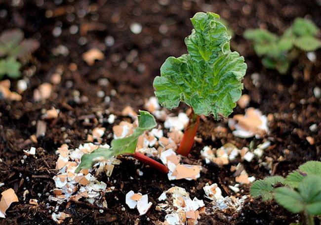 Rắc vỏ trứng đã bóp vụn xung quanh cây trồng: Vỏ trứng sẽ cung cấp lượng canxi phong phú cho cây trồng, đồng thời giúp ngăn chặn ốc sên, sên nhớt hiệu quả mà không cần dùng hóa chất.