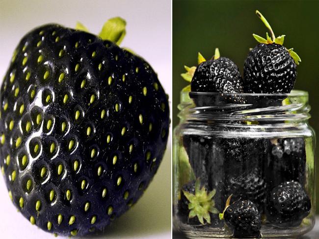 Có xuất xứ từ nước Anh, dâu tây đen thoạt nhìn khá giống với quả mâm xôi đen (blackberries) nhưng có kích thước to hơn vàcó vị dâu tây hoàn hảo.