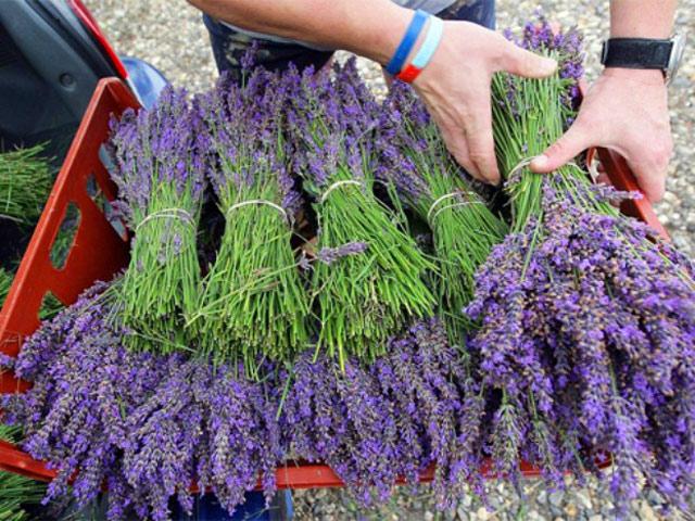 Học cách trồng hoa oải hương cho nhà vừa đẹp vừa thơm ngát