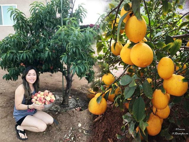 Vườn cây ăn quả 4000m² sai trĩu trịt vạn người mê của mẹ Việt ở Mỹ