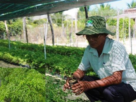 """Cách trồng cây đinh lăng - loại cây """"nhân sâm của người nghèo"""""""
