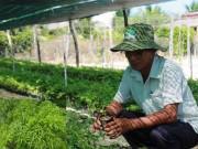 """Nhà đẹp - Cách trồng cây đinh lăng - loại cây """"nhân sâm của người nghèo"""""""
