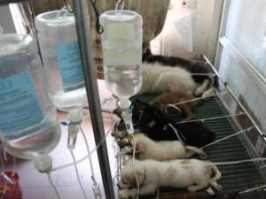 Hà Nội: Bệnh viện quá tải, chó mèo nằm chen chúc, xếp hàng chờ điều trị trong ngày nắng nóng