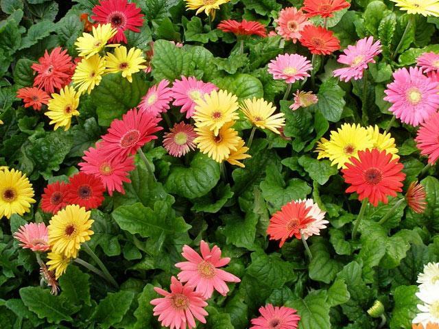 Cách trồng hoa đồng tiền đơn giản nhất cho hoa lên rực rỡ