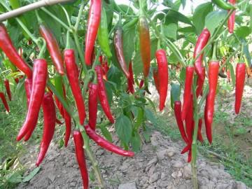 Mách cách trồng ớt sai quả, cho thu hoạch mỏi tay không hết