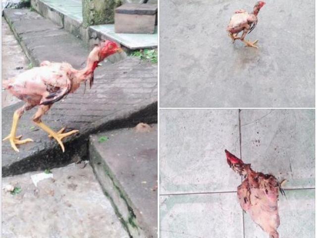 Khoe chị dâu đã vặt lông nhưng gà vẫn chạy nhong nhong, chàng trai bị dân mạng mắng sấp mặt