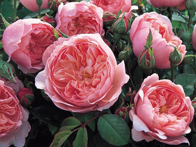 Kỹ thuật trồng hoa hồng cho nhiều bông nở rộ, tỏa hương khắp vườn