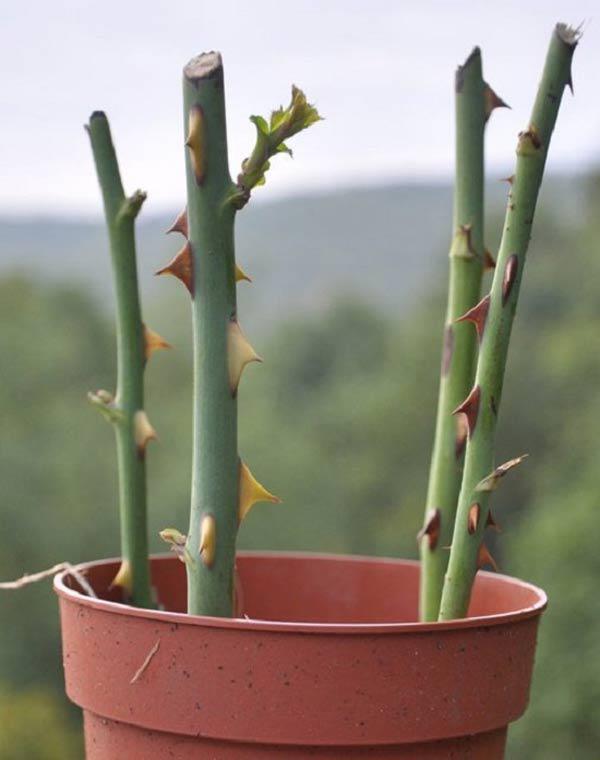 hoc cach trong hoa hong leo no ruc ro truoc cong nha - 6