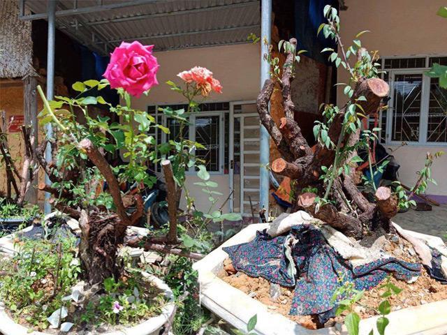 Tận mắt ngắm bốn gốc hoa hồng cổ thụ khủng được rao bán với giá gần 80 triệu đồng