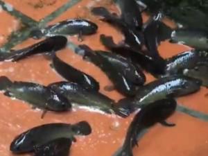 """Nước ngập do mưa lớn, đàn cá rô """"vượt cạn"""" lúc nhúc bơi trên sân ở Hải Phòng"""