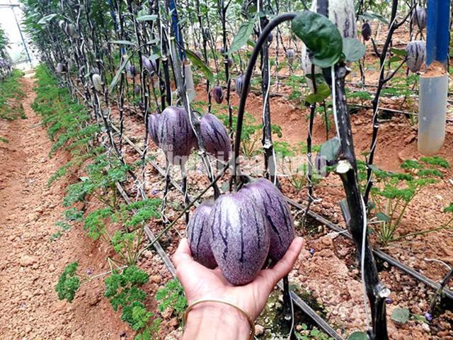 Kỹ sư 8X trẻ được trồng hàng độc dưa pepino tím độc nhất vô nhị ở Việt Nam