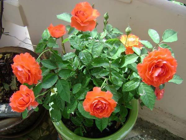mach cach trong hoa hong bang canh nhanh, gon ma cay van khoe, no hoa to - 8